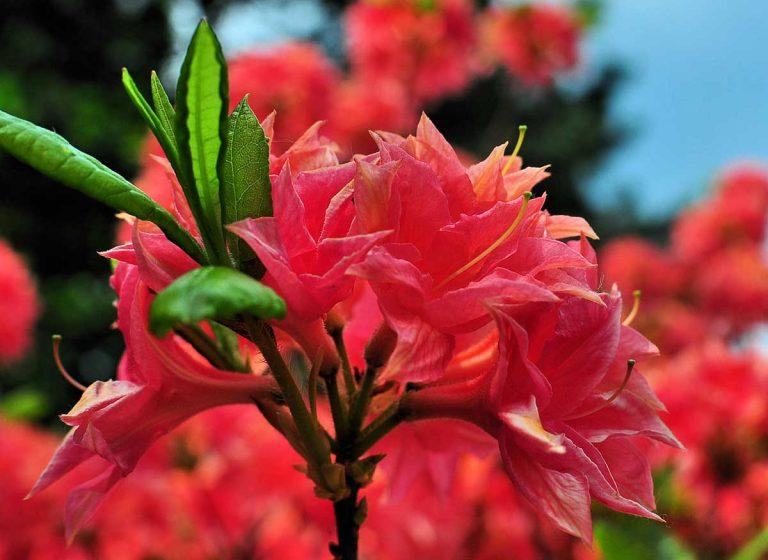 Różanecznik